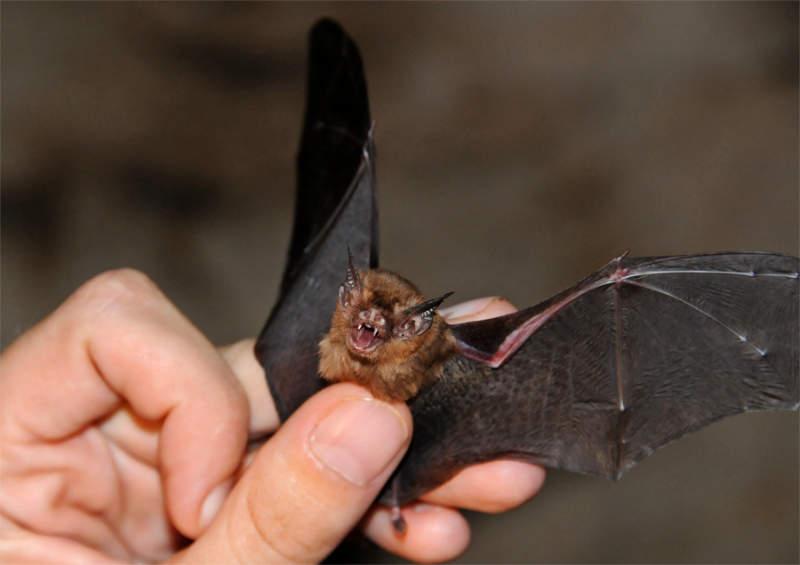 Топ-10 самых необычных животных на Земле Свиноносая летучая мышь