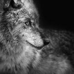 Минимализм в портретах диких животных Troy Moth
