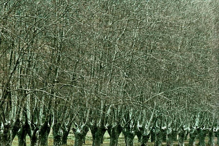 Франк Хорват (Frank Horvat) и «Портреты деревьев» 3