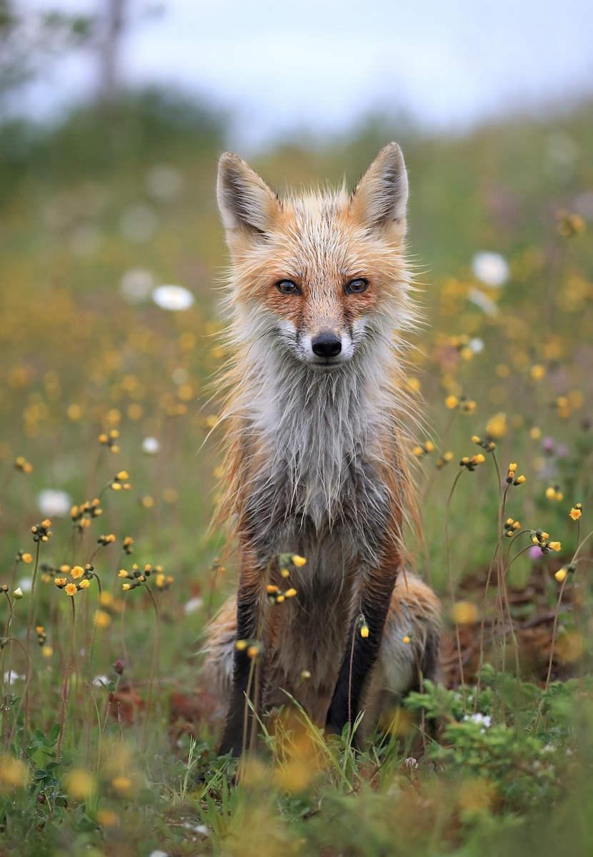 Меган Лоренц (Megan Lorenz) - фото красной лисы