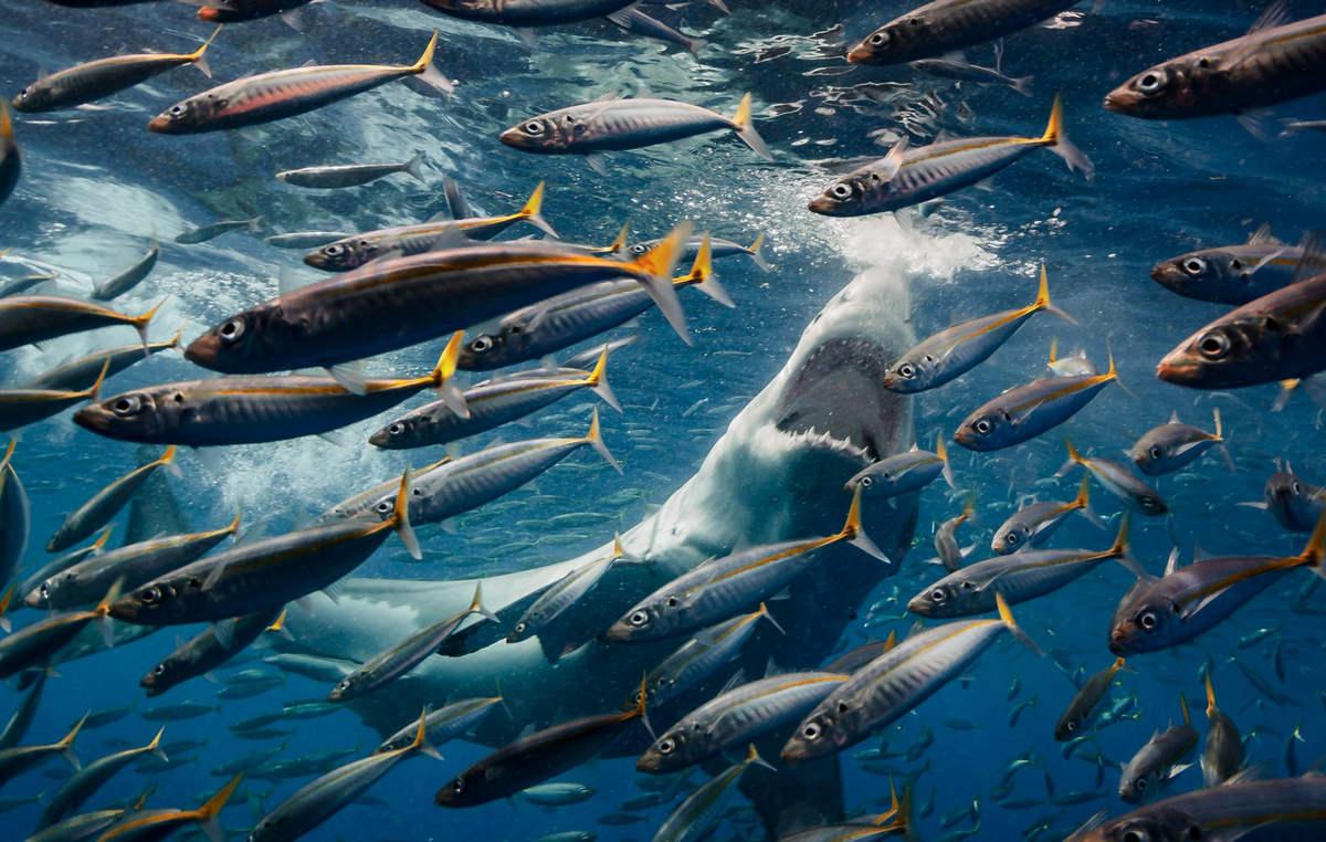 Роберто Мочини Формига (Roberto Moccini Formiga) - белые акулы у острова Гуадалупе